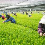 """宮崎の日本茶専門店「新緑園」、全国茶品評会において  3年連続""""一等一席""""<br>『農林水産大臣賞』受賞の快挙達成<br> ~ 宮崎茶が高品質である事の証明と発信を目指す ~"""